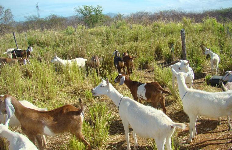 Adubos orgânicos ajudam a controlar verminoses em caprinos e ovinos