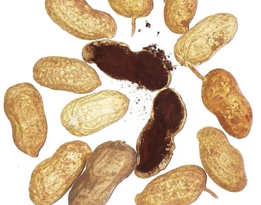 Embrapa coleta amostras de amendoim para investigar a ocorrência da doença do carvão no Brasil