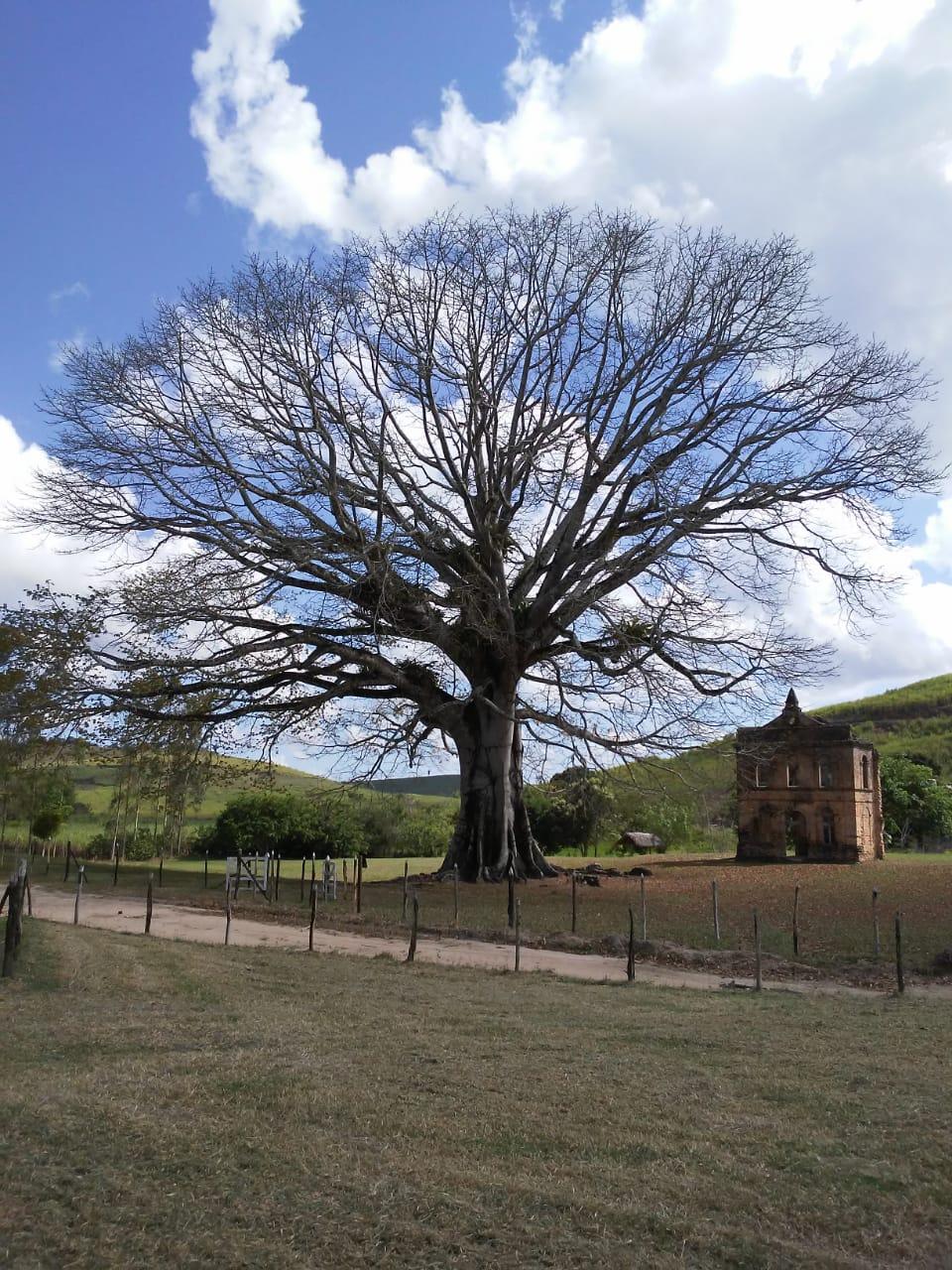 Visita a árvore Sumaúma, a maior árvore do Estado de Alagoas