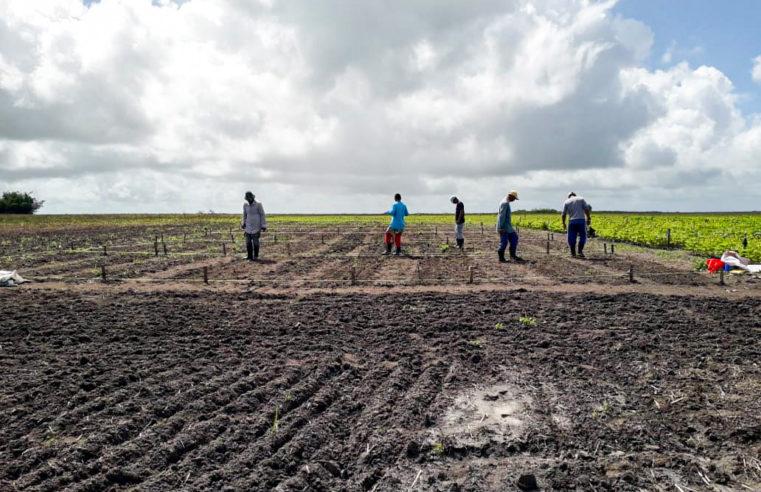 Pesquisa avalia potencial do trigo em novas áreas no Nordeste