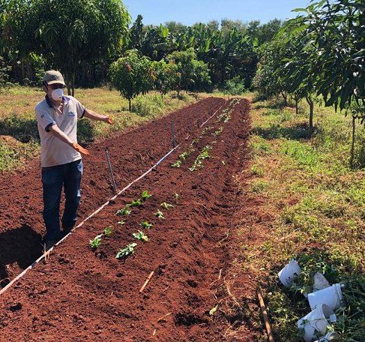 Testes avaliam desempenho de batata-doce roxa em Alagoas e São Paulo