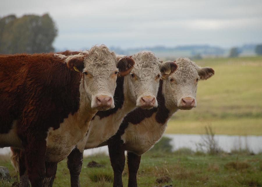 Brasil, Australia e África do Sul unificam dados genômicos sobre resistência bovina ao carrapato