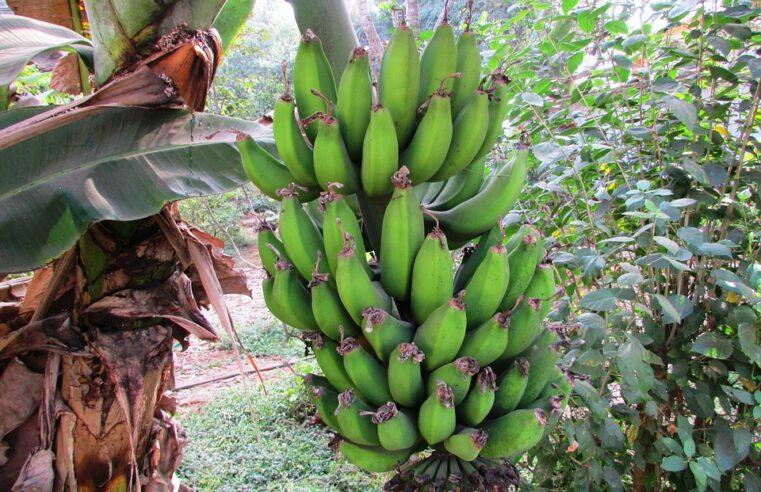 Apostila pragas da bananeira em PDF