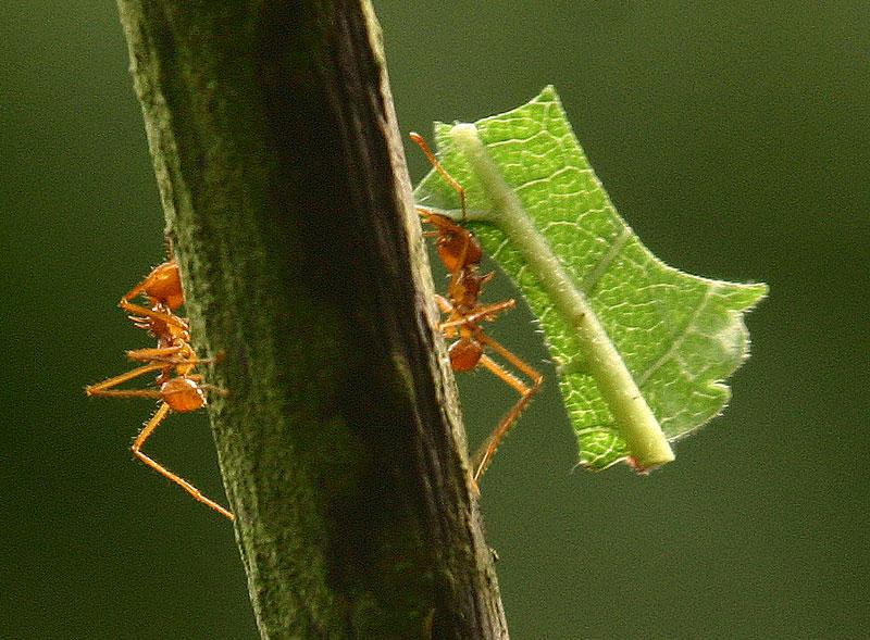 Apostila pragas formigas cortadeiras em PDF